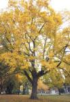 Sugar Maple at Marian College